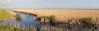 Phragmites reed beds, Oostvardersplassen, Holland June 2009.