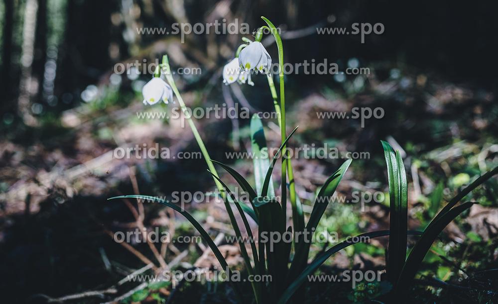 18.03.2020, Kaprun, AUT, tägliches Leben mit dem Coronavirus, im Bild Schneeglöckchen auch Frühlingsknotenblumen genannt in einem Wald. Für ganz Österreich wurde eine Ausgangsbeschränkung der Bundesregierung ausgesprochen // Snowdrops also called spring knot flowers in a forest. The Austrian government is pursuing aggressive measures in an effort to slow the ongoing spread of the coronavirus, Kaprun, Austria on 2020/03/18. EXPA Pictures © 2020, PhotoCredit: EXPA/ Stefanie Oberhauser