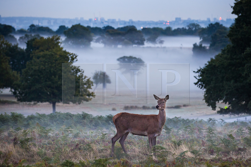 © Licensed to London News Pictures. 01/10/2016. London, UK. Fallow deer seen through the mist at sunrise in Richmond Park. Photo credit: Rob Pinney/LNP