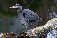 A Great Blue Heron (Ardea herodias fannini) hunting in a small pond at Devonian Harbour Park, near Coal Harbour and Stanley Park in Vancouver, British Columbia, Canada.