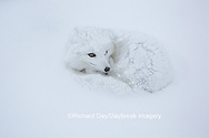 01863-01705 Arctic Fox (Alopex lagopus) in winter, Churchill Wildlife Management Area, Churchill, MB