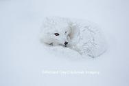 01863-01705 Arctic Fox (Alopex lagopus) in winter, Churchill Wildlife Management Area, Churchill, MB