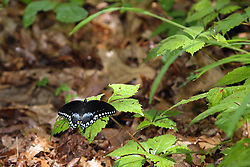July 2007:  Eastern Swallowtail Dark Female (Papilio glaucus) seen on vacation in Cape Girardeau Missouri at the Trail of Tears State Park. (Photo by Alan Look)