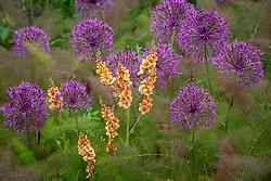 Verbascum 'Cotswold Beauty' with Allium 'Purple Rain' and Foeniculum vulgare 'Purpureum'. Bronze fennel.