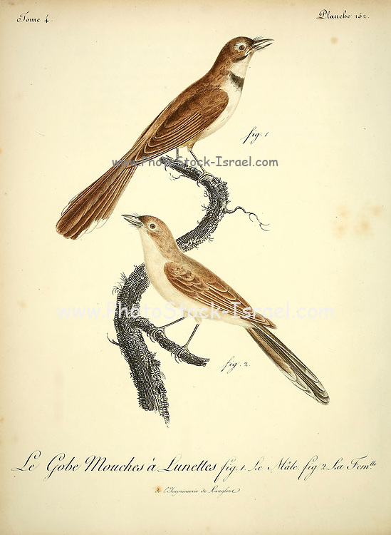 Male and Female Gobe-mouches a lunettes from the Book Histoire naturelle des oiseaux d'Afrique [Natural History of birds of Africa] Volume 4, by Le Vaillant, Francois, 1753-1824; Publish in Paris by Chez J.J. Fuchs, libraire 1805