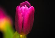 Single pin Tulip