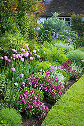 Curving border at Eastgrove Cottage in spring. Tulipa 'Bleu Aimable' with Erysimum 'Bloomsy Baby Purple' (wallflower) and Viola cornuta in the foreground