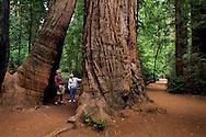 Trail through base of redwood tree, Henry Cowell Redwoods State Park, Felton, Santa Cruz County, California