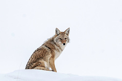 Yellowstone Coyote portrait, winter in Yellowstone