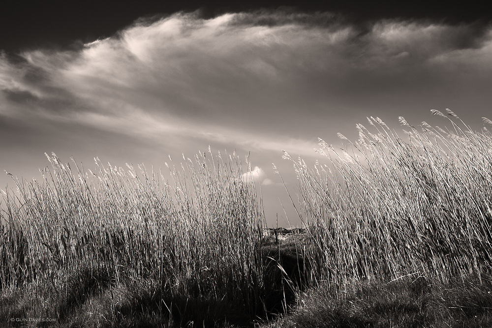Wind blown rushes behind the beach at Aberffraw at West Anglesey, Wales