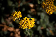 Close-up of golden yellow yarrow flowers