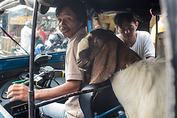 September 1, 2017 - Pekojan, Jakarta, Indonesia - Goat as livestock to sacrifice for Eid al-Adha transported by Bajaj and motorbike in Jakarta, Indonesia on September 1, 2017. This Muslim holy day also celebrated with Haj pilgrimage and slaughtering livestock to remind prophet Abraham who ready to sacrifice his son. (Credit Image: © Anton Raharjo/NurPhoto via ZUMA Press)
