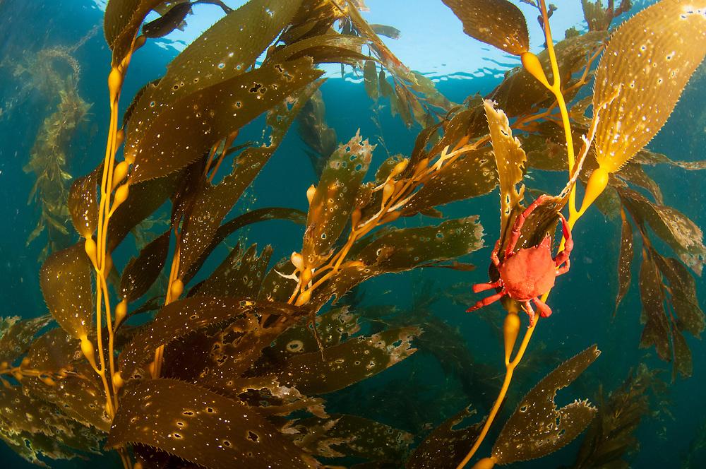A kelp crab (Pugettia producta) feeding on giant kelp (Macrocystis pyrifera) off San Diego, California, USA.