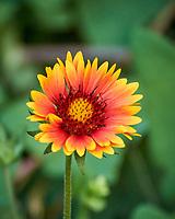 Blanket Flower. Image taken with a Nikon N1V3 camera and 70-300 mm VR lens