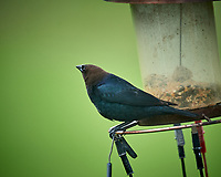 Male Brown-headed Cowbird. Image taken with a Nikon D5 camera and 600 mm f/4 VR telephoto lens (ISO 720, 600 mm, f/4, 1/1250 sec).