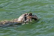Harbor Seals capture a salmon, Skagway Harbor, Skagway, AK