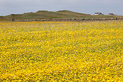 Field full of Corn Marigolds, Benbecula, Outer Hebrides, Scotland. Chrysanthemum segetum