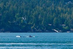Orca Whale (Orcinus Orca) off Yellow Island, San Juan Islands, Washington, US