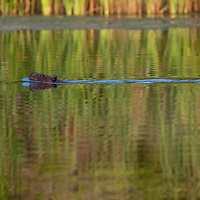 A beaver (Castor canadensis) swims in a quiet bay on Lake of the Woods, Ontario, Canada.