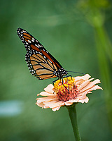Monarch butterfly on a Zinnia flower. Image taken with a Nikon 1 V3 camera and 70-300 VR lens.