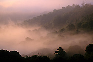 Trees and morning fog along Fish Ranch Road, near Orinda, Contra Costa County, CALIFORNIA