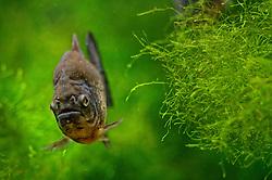13-08-2014 NED: Dagje Ouwehands dierenpark, Rhenen<br /> De piranha's of echte piranha's zijn een familie van carnivore zoetwatervissen die in de rivieren van Zuid-Amerika leven. Piranha's worden ongeveer 15 tot 25 centimeter lang