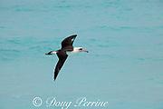 Laysan albatross, Phoebastria immutabilis, Sand Island, Midway Atoll, Midway National Wildlife Refuge, Papahanaumokuakea Marine National Monument, Northwest Hawaiian Islands, USA ( North Pacific Ocean )
