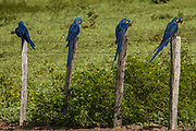 Hyacinth Macaws (Anodorhynchus hyacinthinus) on posts<br /> PHOTOGRAPHED IN: Pantanal. Largest contiguous wetland system in the world. Mato Grosso do Sur Province. BRAZIL.  South America. RANGE: Interior s Brazil, extreme nw Paraguay and adjacent e Bolivia.<br /> In late 2004 they were officially taken off of the endangered list. Project Blue macaw has been very successful in educating Pantanal farmers about the value of saving this bird.