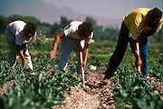 IXMIQUILPAN, HIDALGO, MEXICO: Brothers hoe a cauliflower field in the town of Ixmiquilpan, state of Hidalgo, central Mexico. The vegetable were for export to the US and grocery stores in Mexico City. PHOTO © JACK KURTZ   AGRICULTURE LABOUR  FOOD  FAMILY
