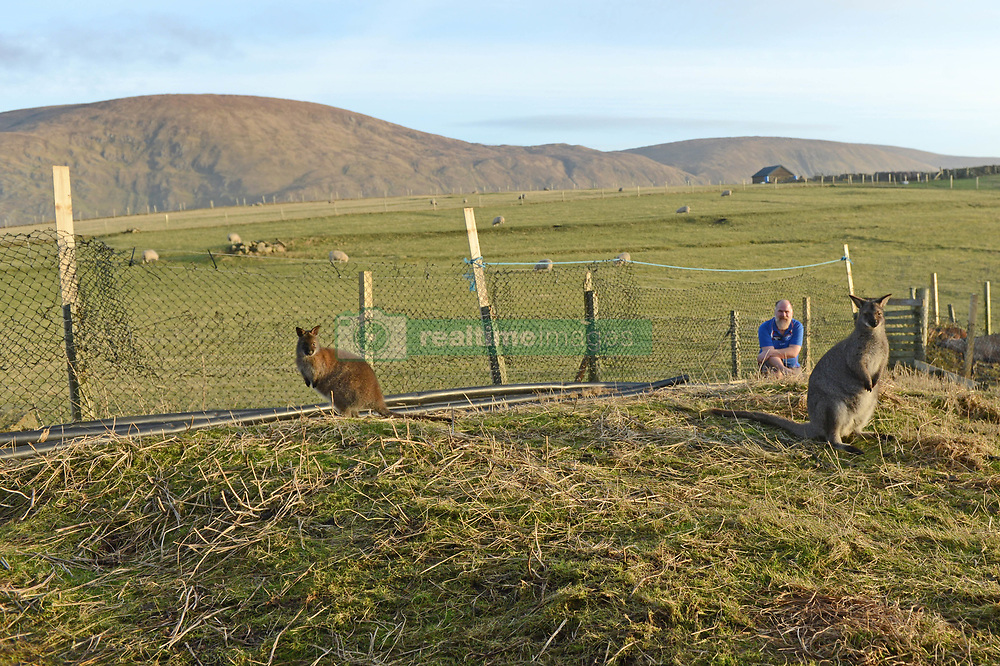 EXCLUSIVE: An Australian man has created his own Outback outpost 11,000 miles from home on the Shetland Islands – and he even has WALLABIES. Tasmanian Dave Kok, 42, has built his own Aussie oasis on the Scottish archipelago after deciding to settle there when he was travelling Europe. Now Dave lives with his Shetland native wife Louise, 38, and two daughters Caitlin, 11, and Ruby, aged four. Social care worker Dave came to the islands in the late 90s and since 2016 has been building his own watering hole choc-full of Australiana on the island of Burra. Dave's place 'The Outpost' is a renovated wooden porta cabin filled with Tasmanian beers, Tim Tams, books on bush craft and Aussie Rules sporting memorabilia. Locals use the Outpost as their local bar and meeting place, as the nearest pub or café is three bridges and three islands away. And visitors can now enjoy the Outpost's wallabies Ned and Kelly who David brought to the island this winter. Based on the Shetland Islands latitude the marsupials could be the most northerly of their species anywhere on the planet. Dave said visiting Australians are often surprised to find the antipodean paradise in such a remote location. 16 Feb 2018 Pictured: Pic from Dave Donaldson/ Magnus News Agency. Pic shows David Kok with wallabies Kelly (left) and Ned (right) at the Aussie-themed Outpost in the Shetland Islands. An Australian man has created his own Outback outpost 11,000 miles from home on the Shetland Islands – and he even has WALLABIES. Tasmanian David Kok, 42, has built his own Aussie oasis on the Scottish archipelago after deciding to settle there when he was travelling Europe. Now David lives with his Shetland native wife Louise and two daughters Caitlin, 11, and Ruby, aged four. Social care worker David came to the islands in the late 90s and has built his own watering hole choc-full of Australiana on the island of Burra. David's place 'The Outpost' is a renovated wooden porta cabin filled with Tasma