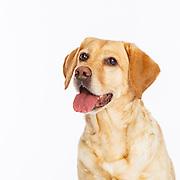 20200325 Labrador Retriever