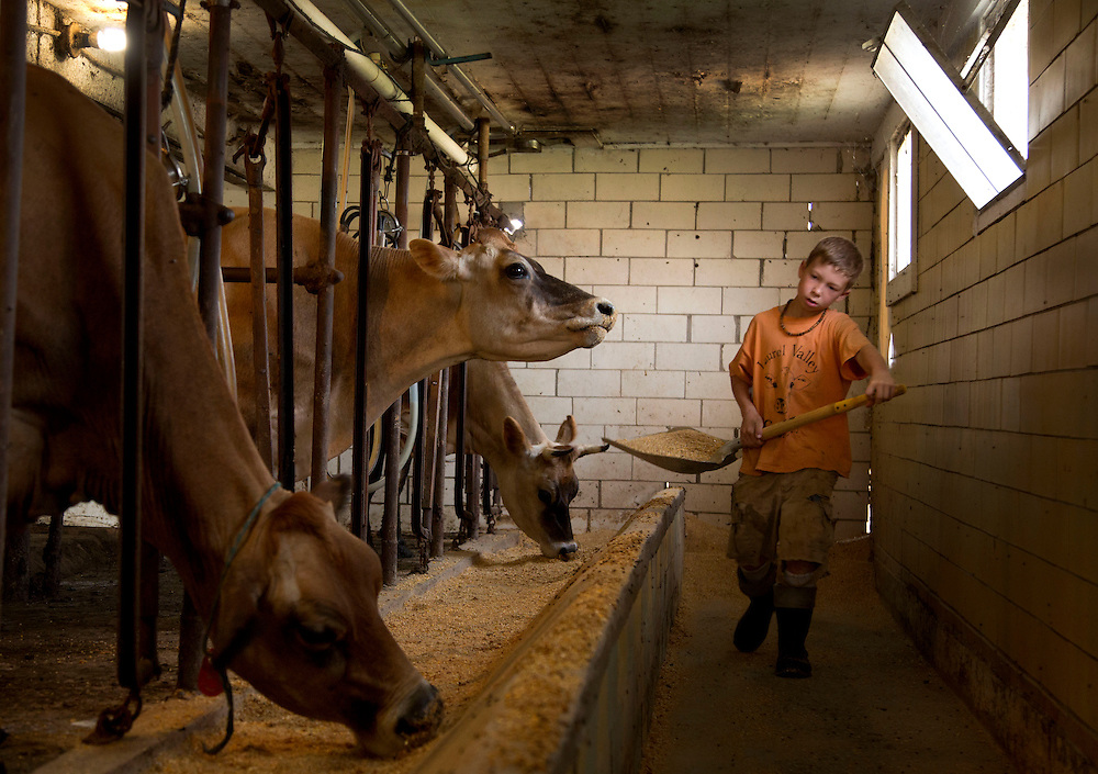 Gus feeds cows during the afternoon milking at Laurel Valley Creamery near Galipolis. (Will Shilling/CRAVE)