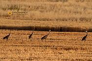 Sandhill cranes feeding on waste grain in the Flathead Valley, Montana, USA