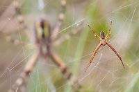Wasp Spider (Argiope bruennichi), large female and tiny male in their nets at Etang des Boires - an oxbow of the river Allier. Pont-du-Chateau, Auvergne, France.