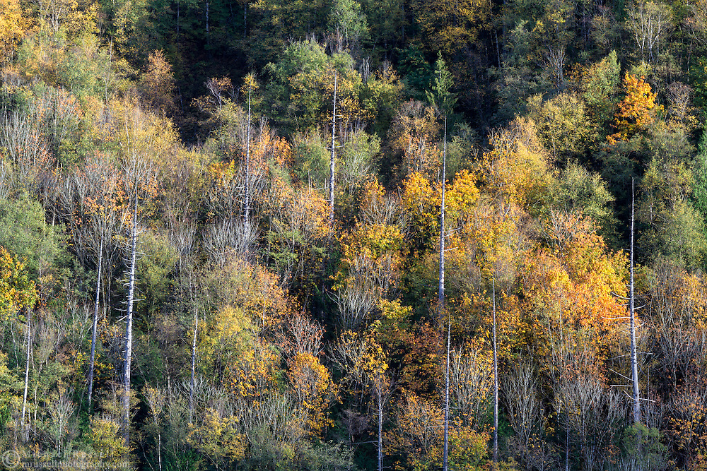 "Fall leaves, mostly Bigleaf Maple (Acer Macrophyllum), on the slopes of Sasquatch Peak in Sasquatch Provincial Park, British Columbia, Canada.  Photographed from ""The Point"" at Deer Lake."