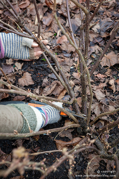 Pruning a blackcurrant bush - Ribes nigrum - in winter. Removing older stems with secateurs