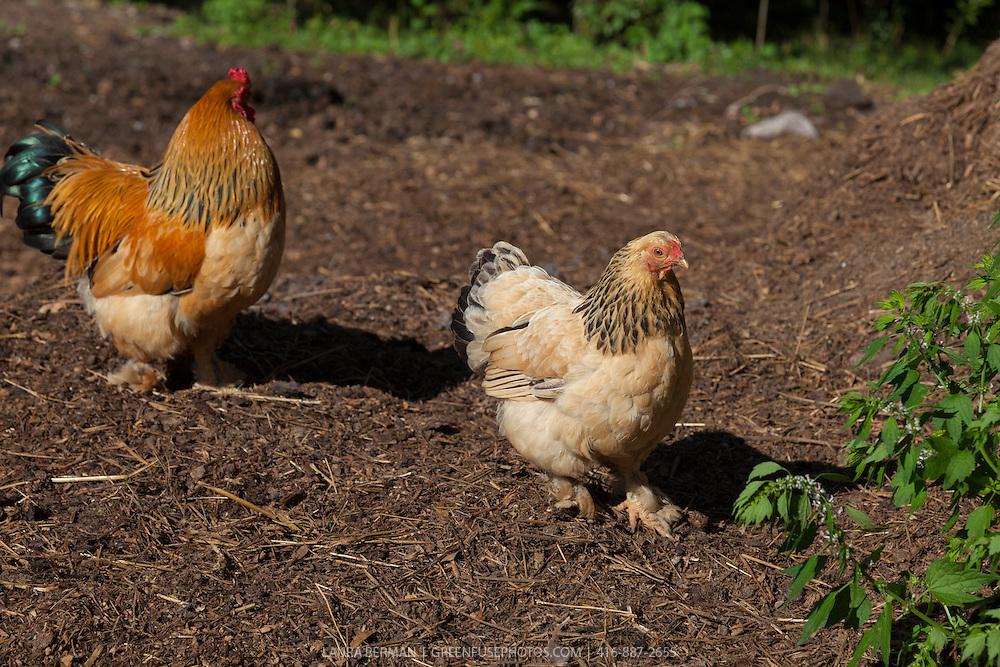 Buff Brahma bantam hen, rooster and chicks in the barn yard.chicken