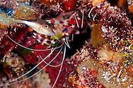 Sharpnose Puffer, Canthigaster rostrata, (Bloch, 1786), Grand Cayman