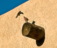 Pair of Male House Finches Fighting in Page Arizona. Image taken with a Nikon D300 and 18-200 mm lens (ISO 200, 200 mm, f/8, 1/640 sec)
