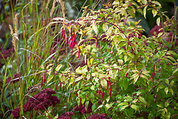 Fuchsia 'Genii' AGM with sedum