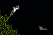 Egyptian Fruit Bats (Rousettus aegyptiacus) in flight at night. Photographed in the Mediterranean  region, Israel. The Egyptian rousette, or Egyptian fruit bat, (Rousettus aegyptiacus) is a widespread African fruit bat. This species has recently been linked to the deadly Marburg virus and is possibly a vector for transmission of the disease.