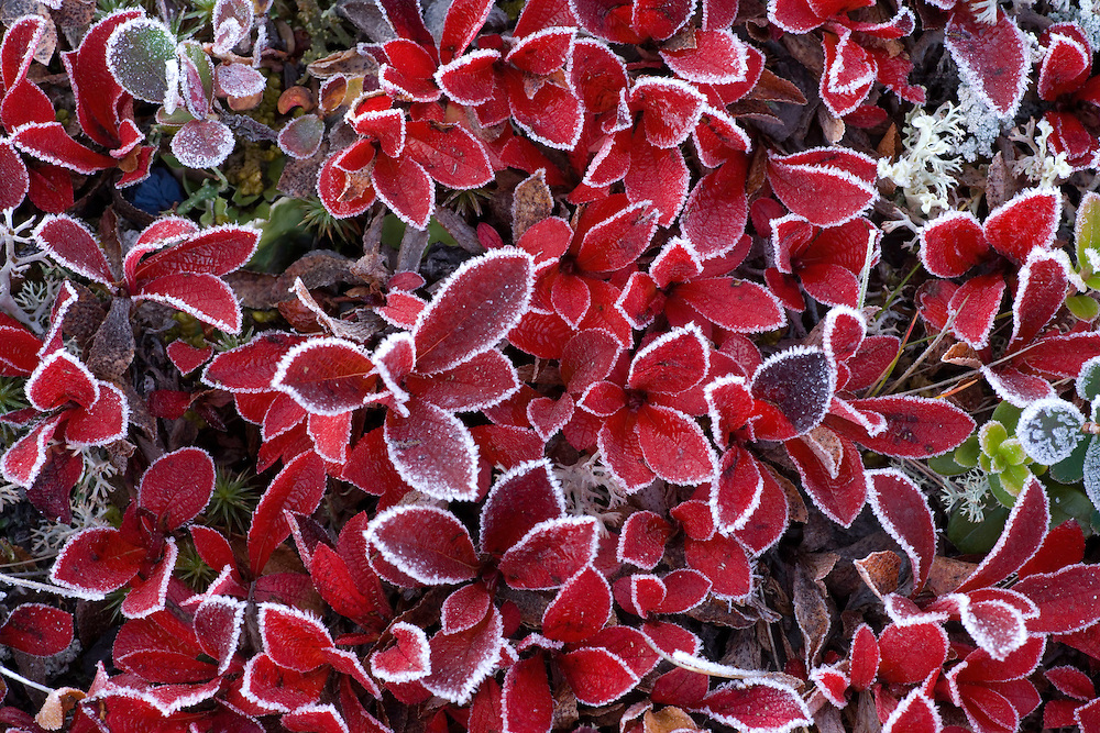 Mountain bearberry (Arctostaphylos alpinus) covered in frost, Sarek National Park, Laponia World Heritage Site, Sweden