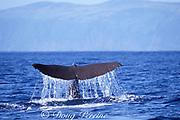sperm whale, Physeter macrocephalus, raises flukes at beginning of dive, Azores Islands, Portugal ( North Atlantic Ocean )