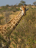 Giraffe tounge in  Kruger NP, South Africa