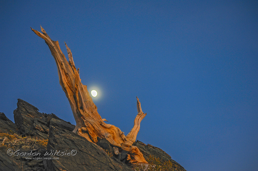 The moon rises behind an ancient bristlecone pine snag, high in the White Mountains above Bishop, California.