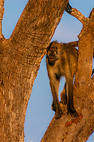 Baboons in trees, Lebala Camp, Kwando Concession