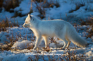 01863-01219 Arctic Fox (Alopex lagopus) in snow in winter, Churchill Wildlife Management Area, Churchill, MB Canada