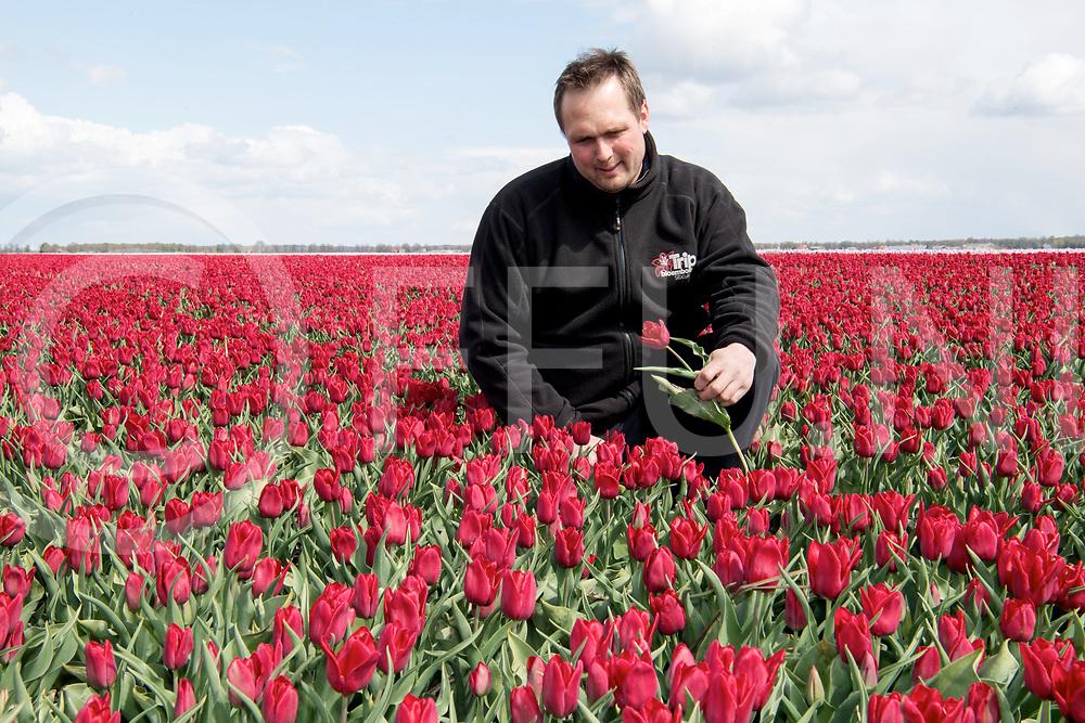 SIBCULO - TULPENBOLLEN KWEKER<br /> Foto: Martin Trip in zijn tulpenbollen veld, keurt de bol.<br /> Als de bloem goed is, blijft deze zitten totdat de bloei voorbij is.<br /> FFU PRESS AGENCY COPYRIGHT FRANK UIJLENBROEK