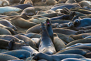 Northern elephant seals (Mirounga angustirostris) at Piedras Blancas Elephant Seal Rookery, San Simeon, California USA