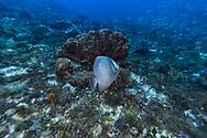 Gray angelfish - Poisson-ange gris (Pomacanthus arcuatus), Cozumel, Yucatan peninsula, Mexico.